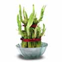 SEND A LUCKY BAMBOO to Bangalore. 	  Same day delivery if order received before 12 noon